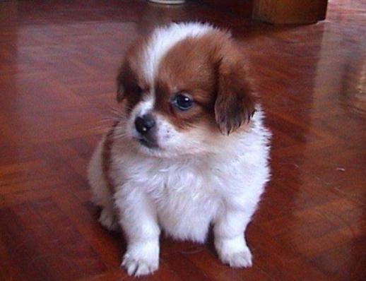 蝴蝶犬幼犬饲养方法