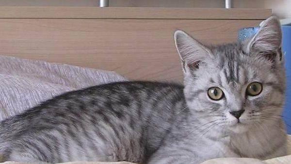 狸花猫和虎斑猫的区别
