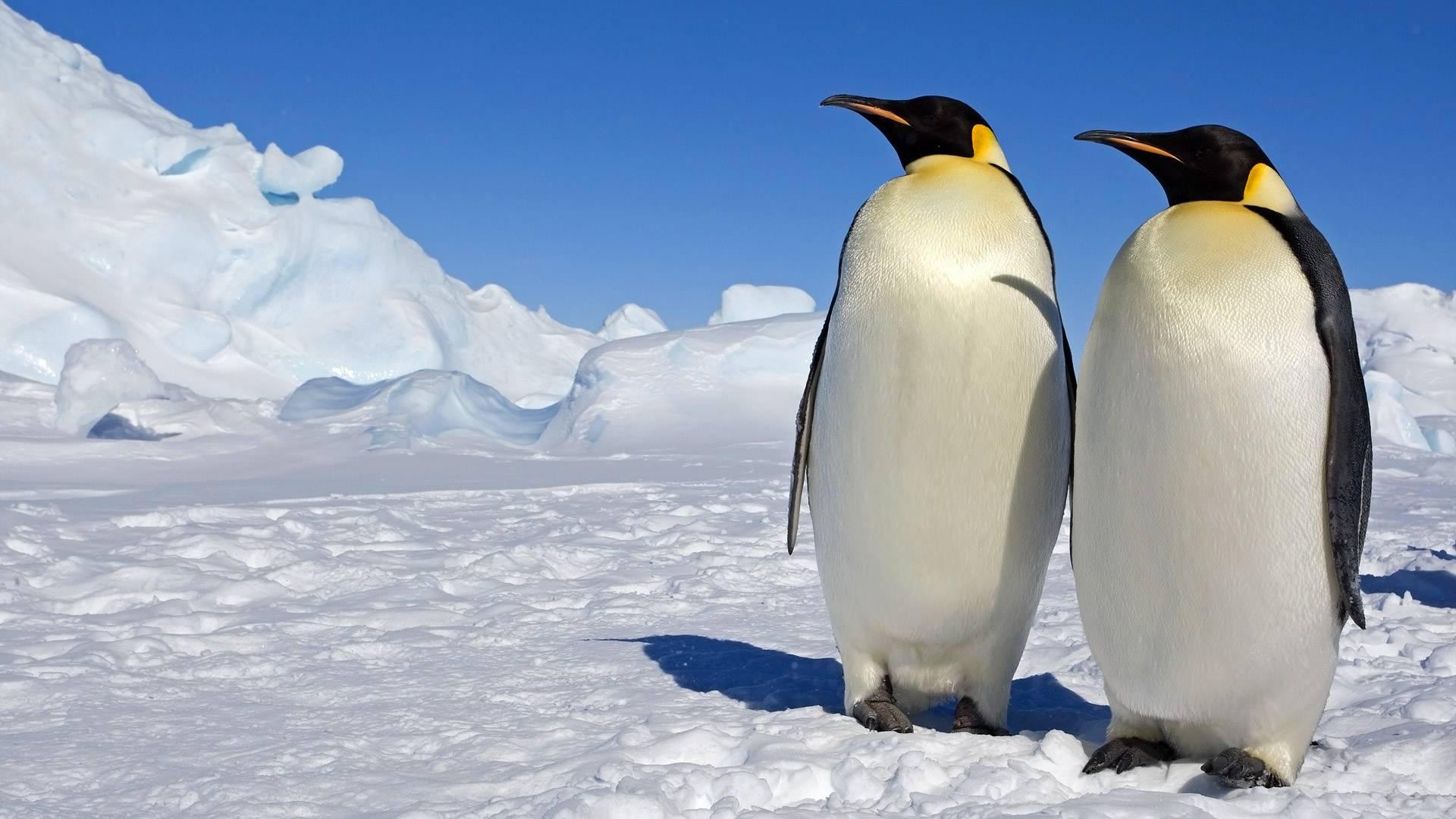 企鹅吃什么?爱吃鱼却尝不出味道-轻博客
