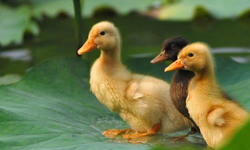 小鸭子吃什么