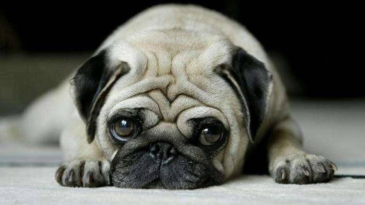 狗狗耳朵上长了螨虫怎么办