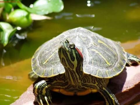 巴西龟怎么养