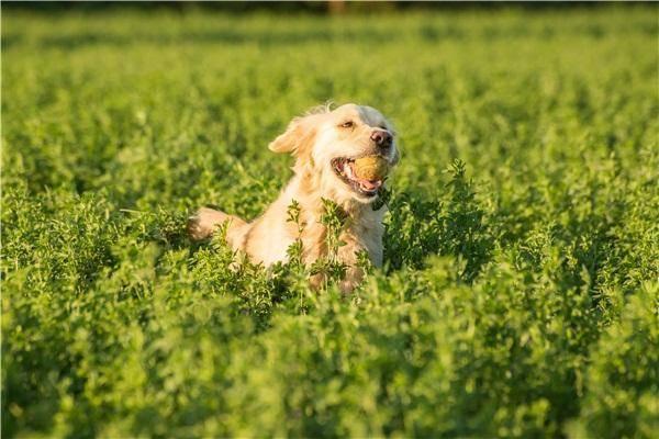 金毛犬好养吗