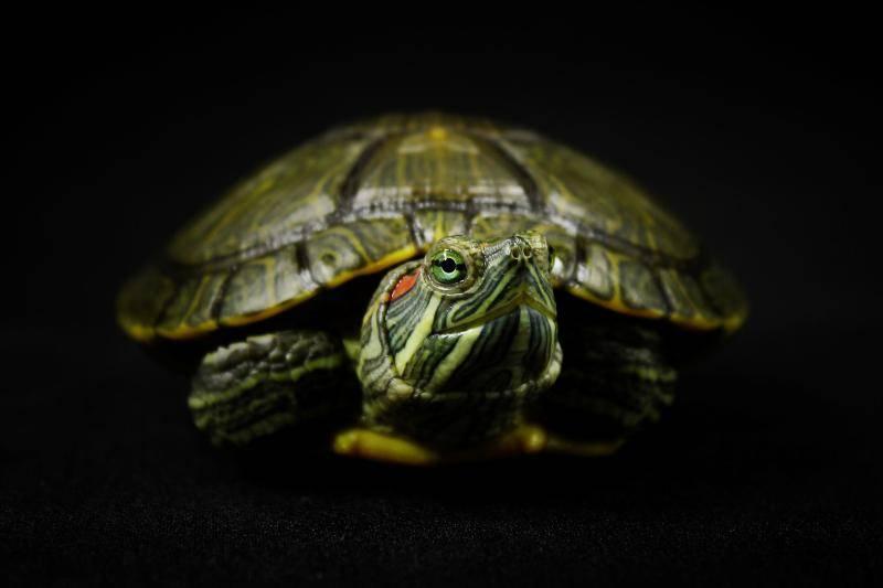 巴西龟怎么看年龄