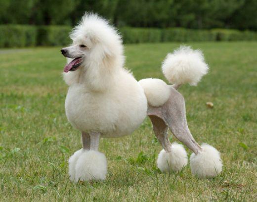什么狗不掉毛适合家养