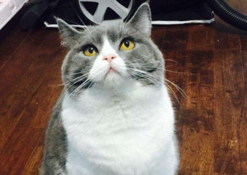 蓝白猫为什么比蓝猫贵