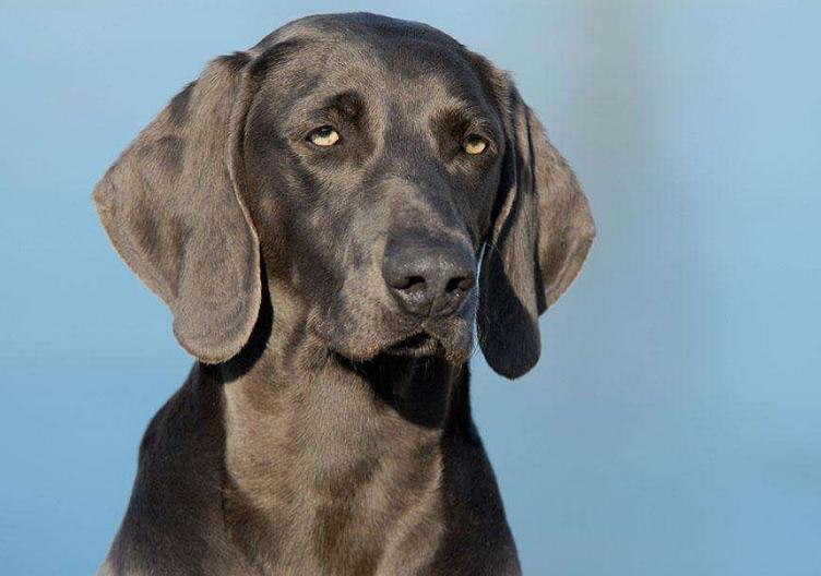 魏玛猎犬适合家养吗