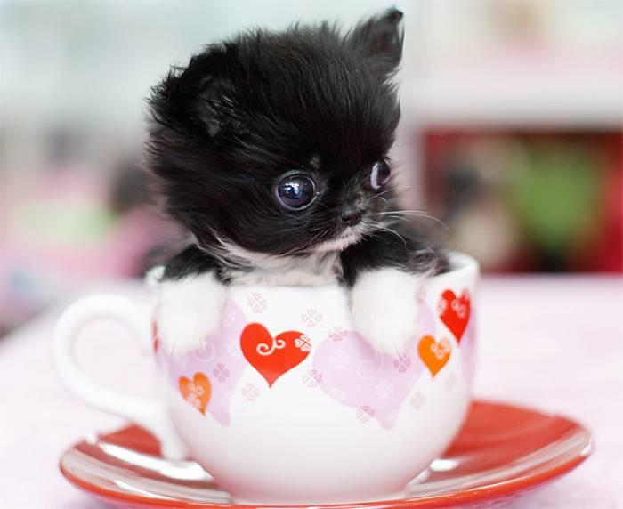 茶杯犬的寿命