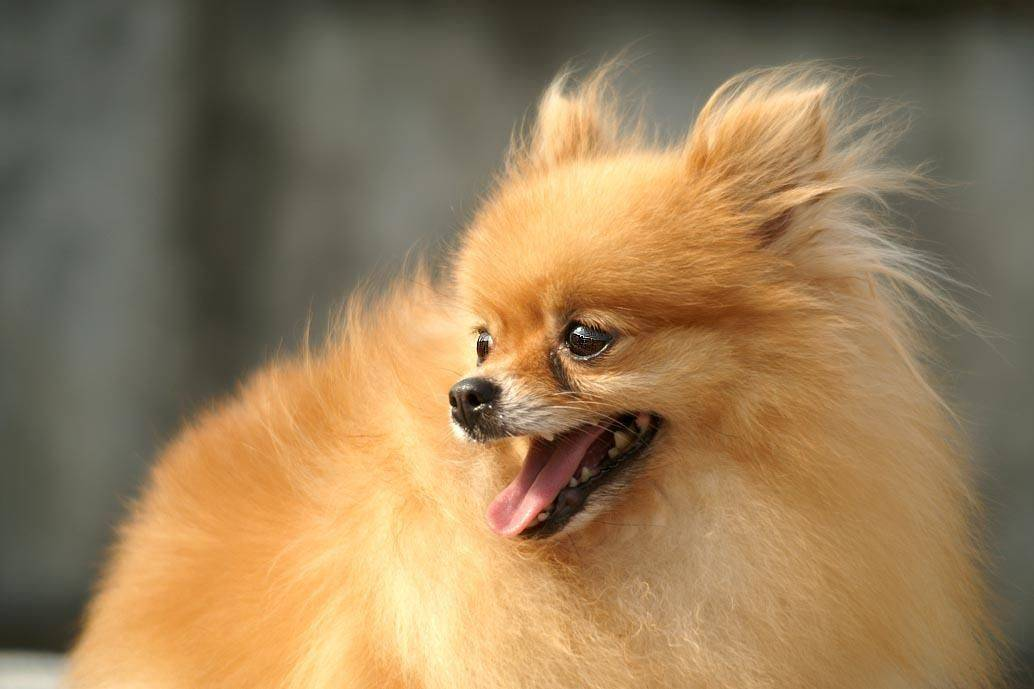 博美犬性格