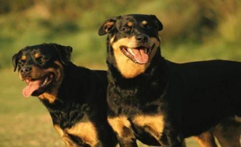 罗威纳犬十个不养理由