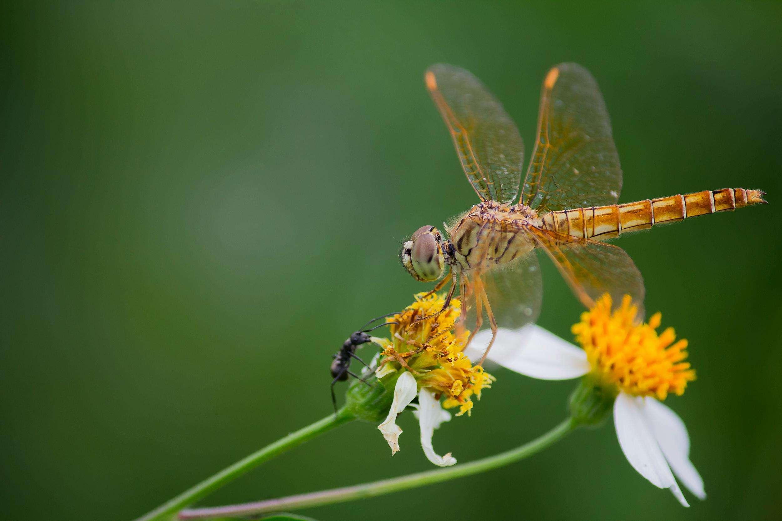 蜻蜓吃什么