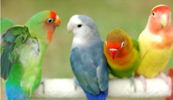 牡丹鹦鹉会说话吗