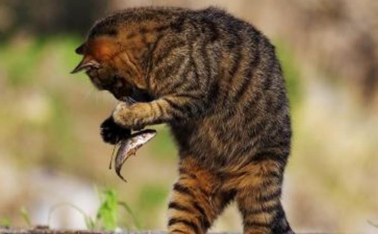 猫为什么喜欢吃鱼?是必然还是偶然?