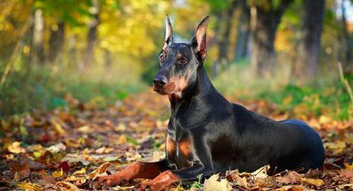 杜宾犬立耳要多久