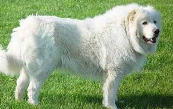 大白熊犬多久定型