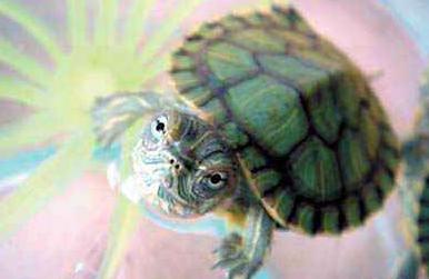 巴西龟吃什么 居然吃的这么营养?-轻博客
