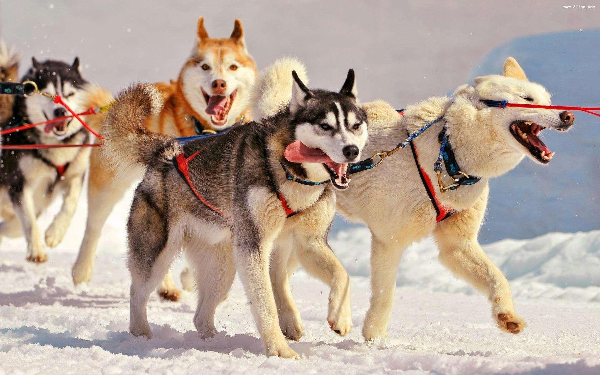 阿拉斯加雪橇犬怎么养