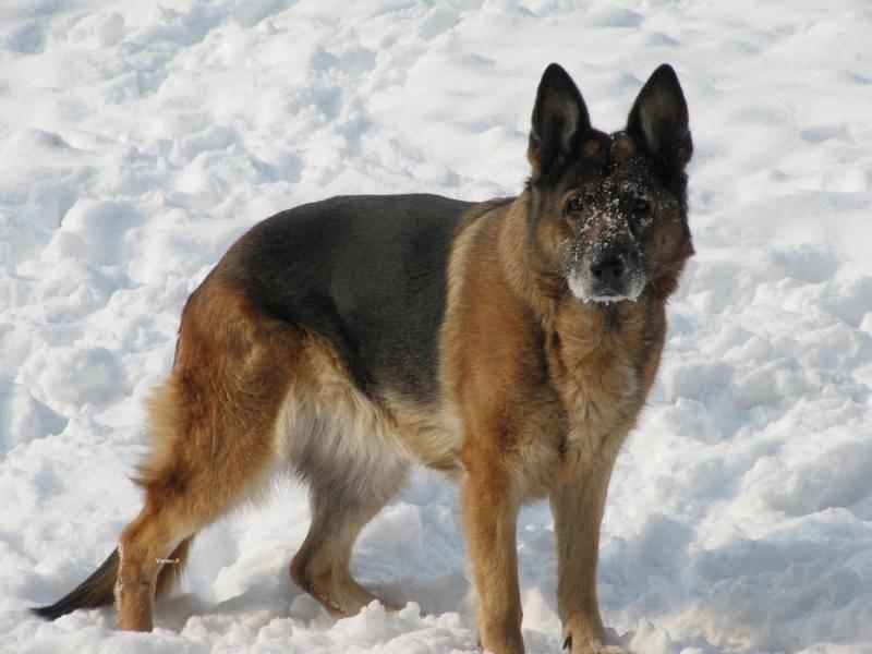 德国牧羊犬吃什么