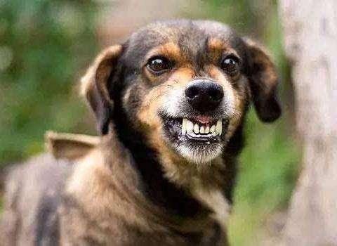 狂犬病狗能活多久