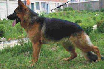 德国牧羊犬优缺点