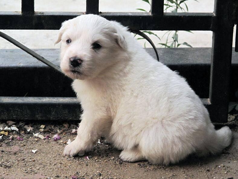 大白熊犬好吗
