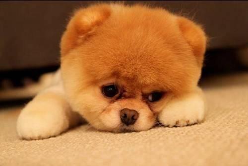 什么宠物狗最可爱