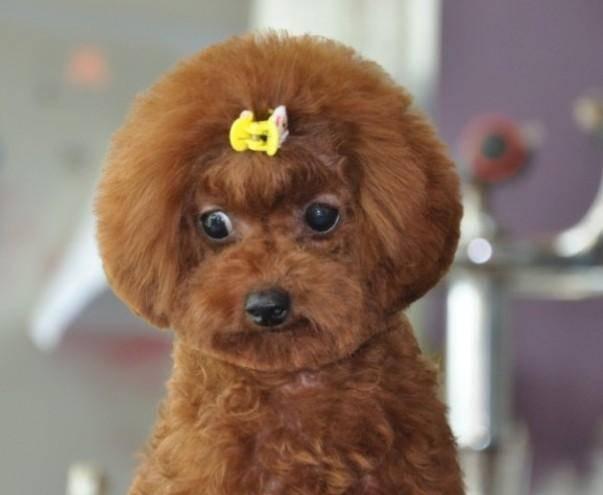 贵宾犬能吃红薯吗