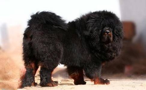 大型犬的品种