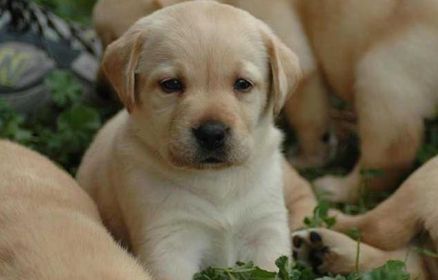 贵宾犬和拉布拉多哪个好养