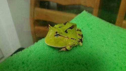 角蛙吃什么