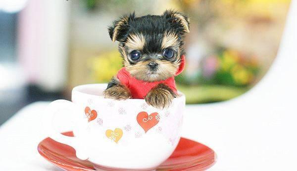 2020最新茶杯贵宾价格,茶杯犬的价格因素有哪些  茶杯型贵宾 贵宾犬 我的宠舍 茶杯犬 第3张