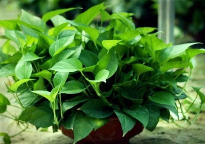 什么植物吸收甲醛最好