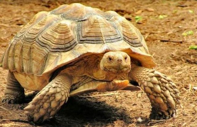 豹龟好养吗