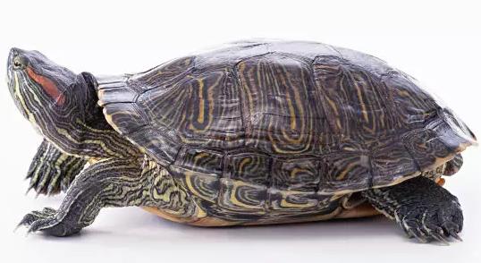 怎样让乌龟冬眠_乌龟怎么吃,记下这些让它更健壮-我的宠舍