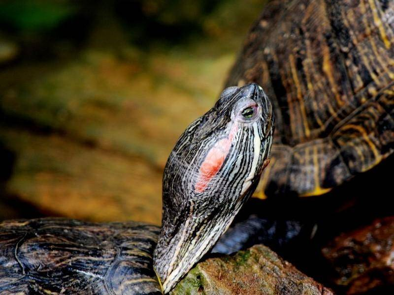 巴西红耳龟会认人吗?饲养的好它会认得你-轻博客