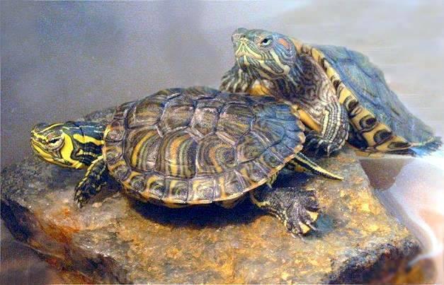 巴西龟肺炎怎么办?看看以下方法-轻博客