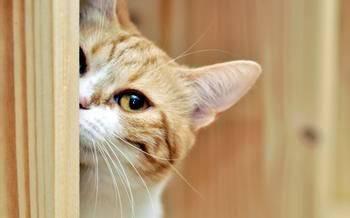 刚出生的小猫几天睁眼