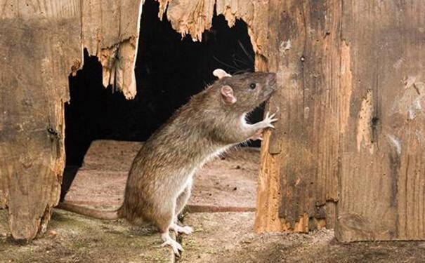 老鼠喜欢吃什么