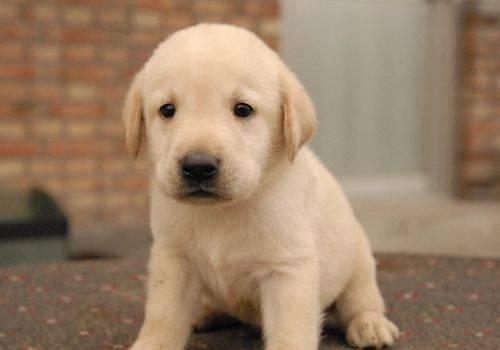 拉布拉多犬有哪些特征_拉布拉多的特点  小拉布拉多 拉布拉多 拉布拉多犬 拉布拉多介绍 第3张