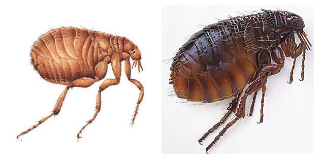 跳蚤会寄生在人身上吗