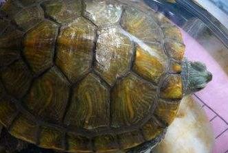 乌龟身上有白色絮状物