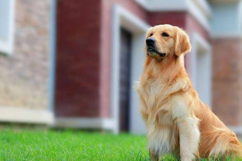 金毛犬体味重吗