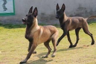 马犬训练方法