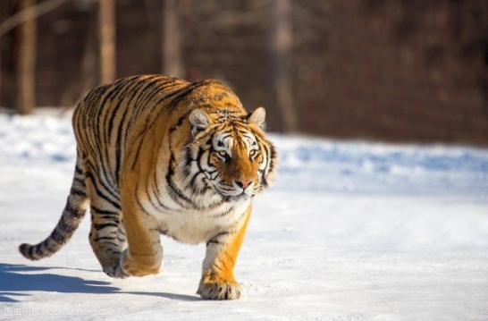 老虎的天敌是什么动物