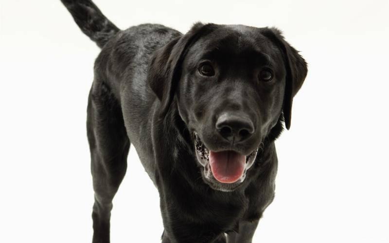 拉布拉多犬怎么训练