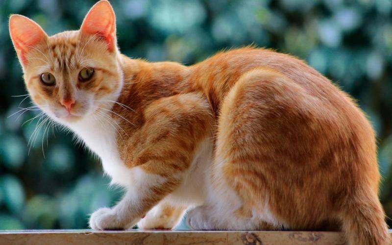 猫瘟会自愈吗