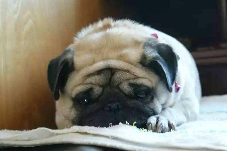 狗狗食欲不振