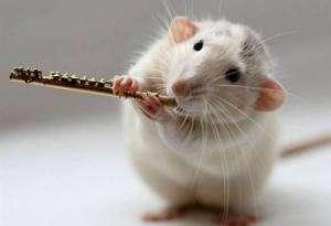 宠物鼠的种类