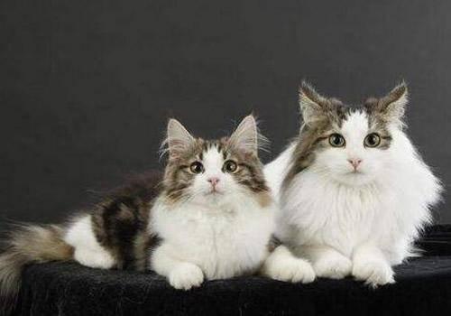 养两只猫会有什么忌讳