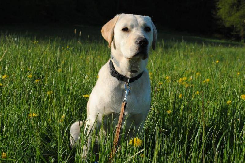 拉布拉多犬训练方法